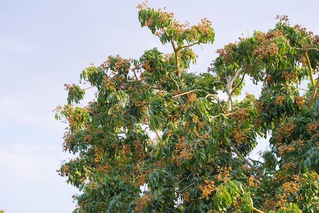 Longan-fruit in de boerderij van de boer met veel fruit aan de longan-boom in chiang mai thailand