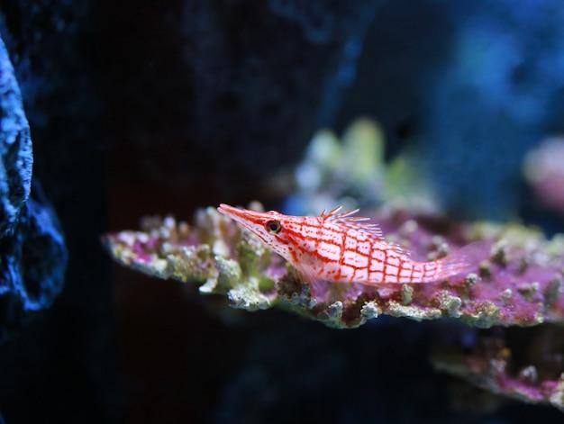 Longnose hawkfish (oxycirrhites-typus) in aquarium.