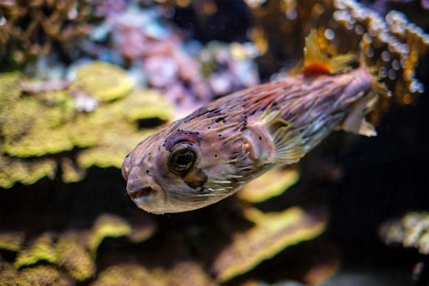 Longspine stekelvarkenvissen onder water in zee