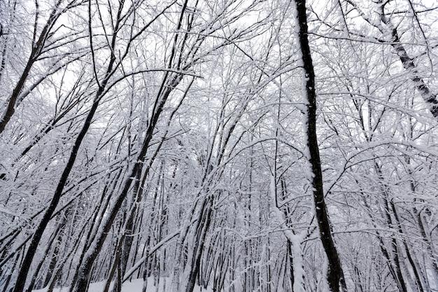 Loofbomen in de winter, koud ijzig winterweer in de natuur na sneeuwval, loofbomen van verschillende rassen na sneeuwval in het park
