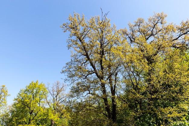 Loofbomen van verschillende leeftijden en hoogtes in een gemengd bos met verschillende bladeren in het park, lente