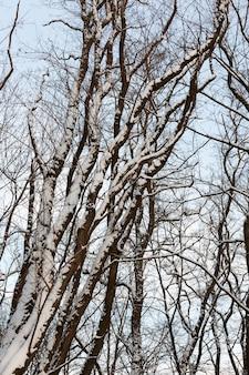 Loofbomen zonder blad in het winterseizoen, kale bomen bedekt met sneeuw na sneeuwval en sneeuwstormen, een echt natuurverschijnsel