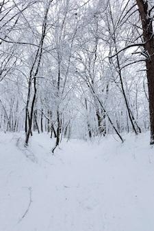 Loofbomen zonder bladeren in de sneeuw na sneeuwstormen en sneeuwval, natuurverschijnselen in het winterseizoen met planten en bomen zonder bladeren