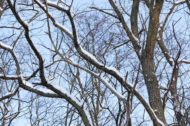 Loofbomen zonder bladeren in de sneeuw na sneeuwstormen en sneeuwval