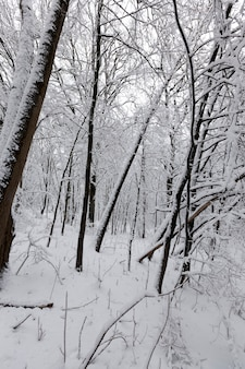 Loofbomen zonder bladeren in de sneeuw na sneeuwstormen