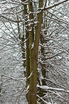 Loofboom met takken bedekt met sneeuw in het bos. bevroren boomschors, ijzige stam en takken, winterboslandschap.