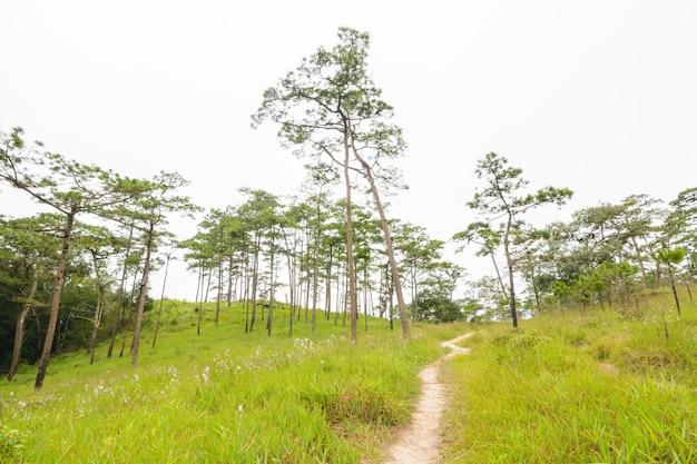 Loopbrug in het dennenbos op phu soi dao national park, uttaradit province, thailand