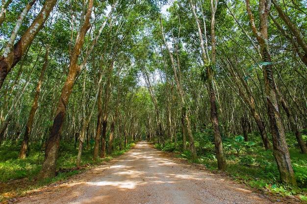 Loopbrug tussen rubberplantage aan twee kanten met hoge bomen en begroeid met groene plant op de grond.