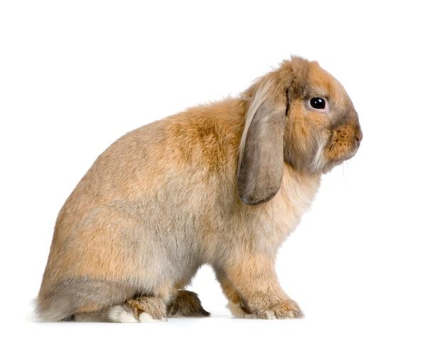 Lop close-up op geïsoleerd konijn