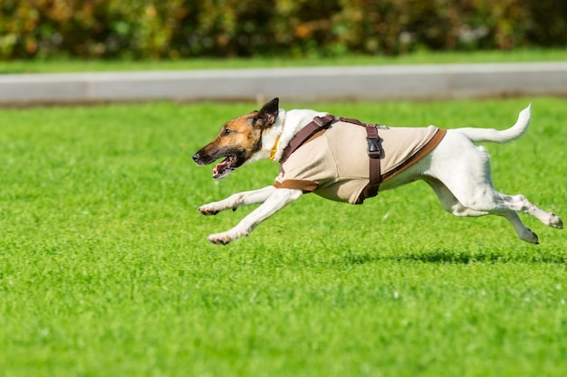 Lopende hond op gras