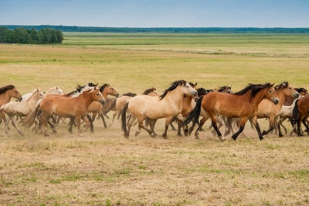 Lopende kudde paarden op het veld