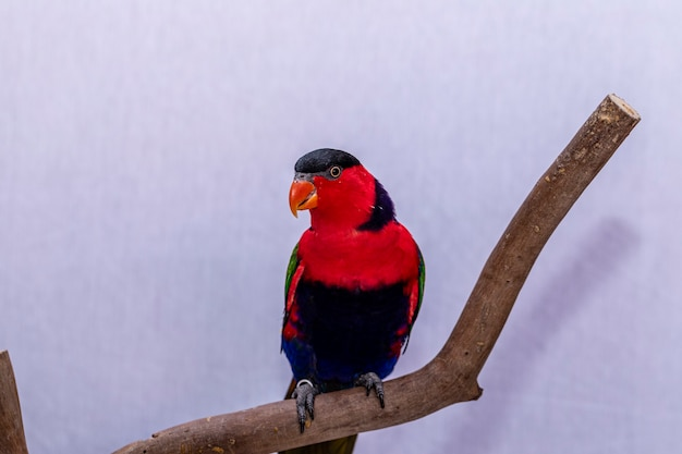Lory parrot (lorius lory) op houten baars met witte achtergrond..