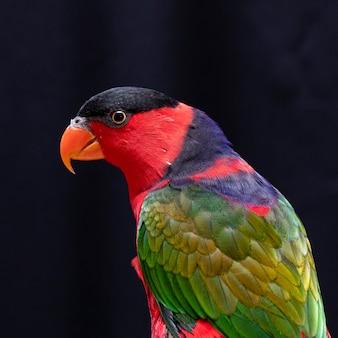 Lory parrot op houten toppositie op zwart