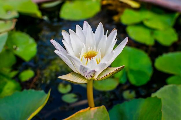 Lotus bloeien op water