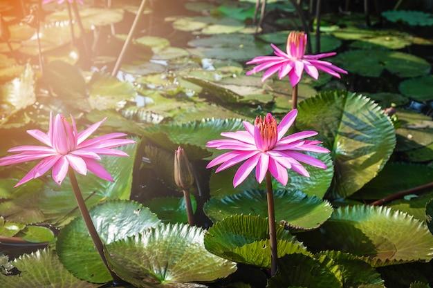 Lotus-bloem in de vijver