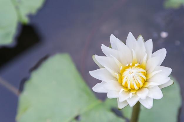 Lotus-bloem of waterleliebloem die met groene bladerenachtergrond bloeien