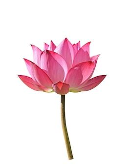 Lotus-bloem op witte achtergrond