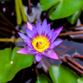 Lotus-bloembloesem in vijver
