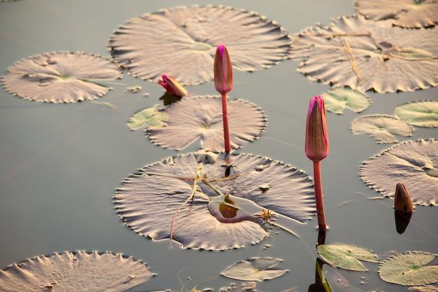 Lotus-bloemknop of waterlelies op de waterspiegel