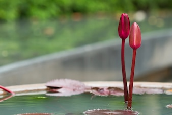 Lotus-bloemplanten