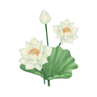 Lotus en waterlily geïsoleerd op witte achtergrond