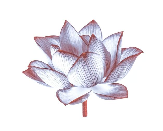 Lotus geïsoleerd op een witte ondergrond.