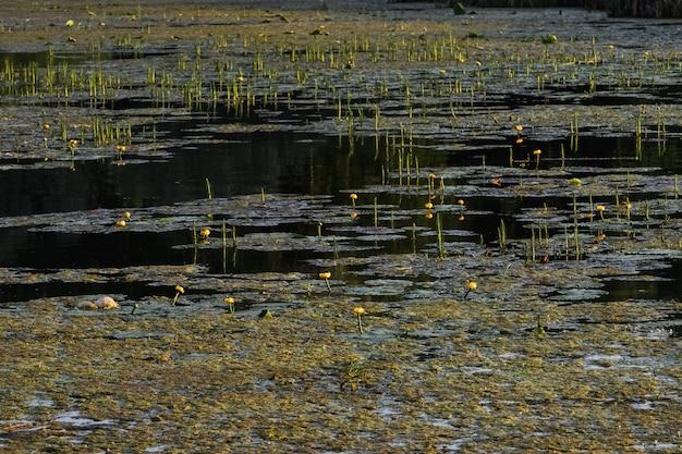 Lotus groeit uit de modder