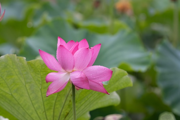 Lotus in regenachtige dagen met regendruppels
