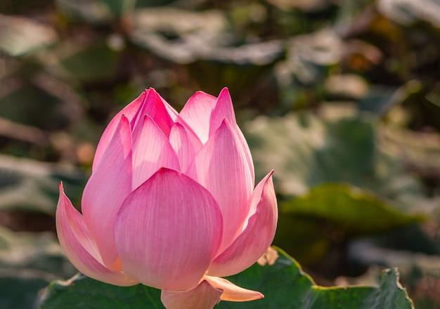 Lotus is bloeiend en het ochtendlicht