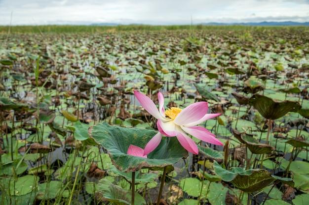 Lotus-meerlandschap bij het nationale park van khao sam roi yod, prachuap khiri khan provincethailand.