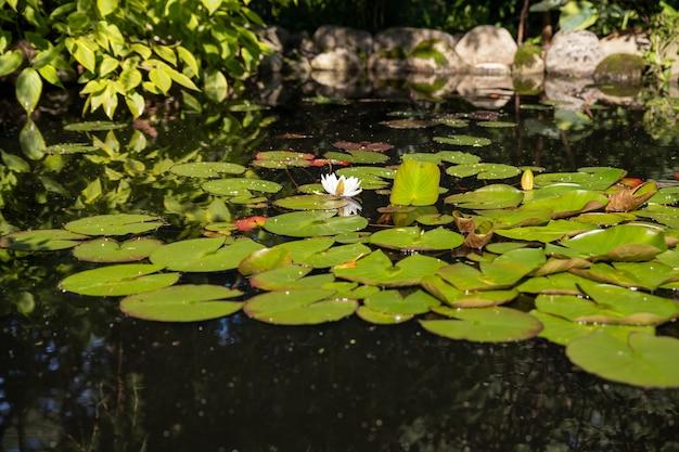 Lotus patroon in groene vijver. witte lotus, waterlily op het oppervlak, groen blad in de botanische tuin, zomer flora met drijvende planten, tropische bloem, lelie in natuurlijke vijver.