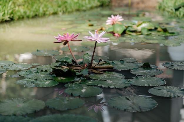 Lotus-vijver die in de ochtend bloeit