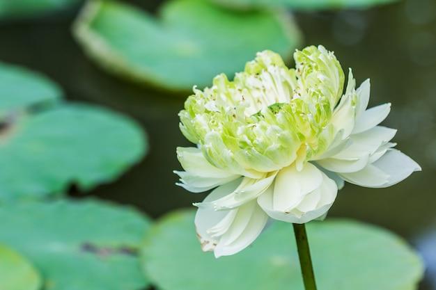 Lotusbloem en lotus-bloeminstallaties gebruiken als achtergrond