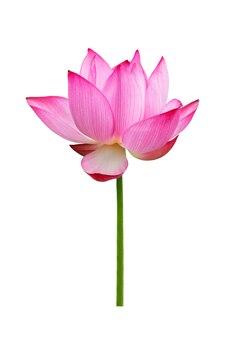 Lotusbloem geïsoleerd op een witte achtergrond. bestand bevat met uitknippad zo gemakkelijk om te werken.