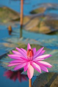 Lotusbloem in meer