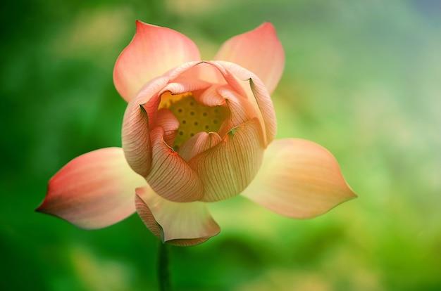 Lotusbloem in vintage