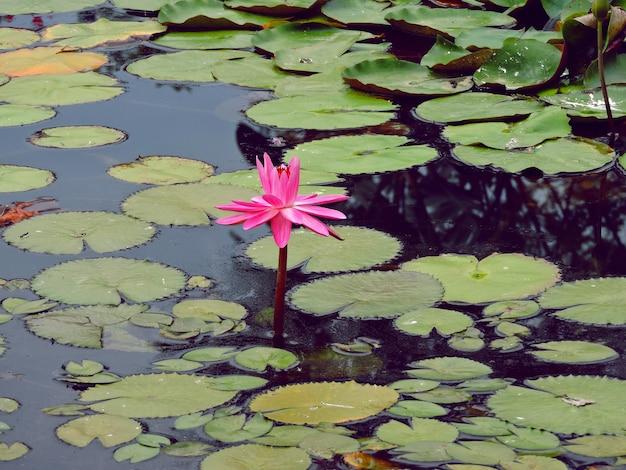Lotusbloem of intense roze waterlelies in vijver