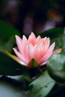 Lotusbloem wordt aangevuld door de rijke kleuren van het diepblauwe wateroppervlak.