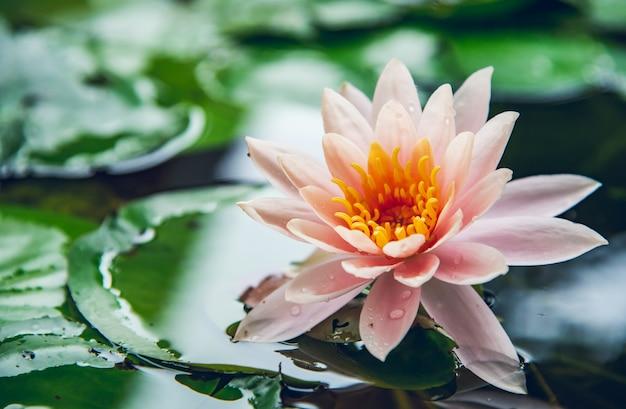 Lotusbloem wordt gecomplementeerd door de rijke kleuren van het diepblauwe wateroppervlak. natuurrug