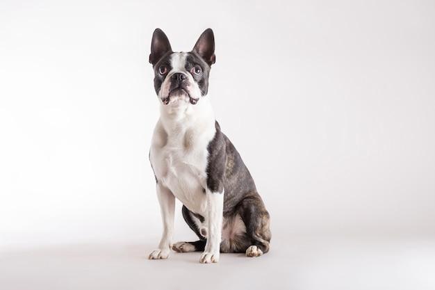 Loyale boston terrier kijken naar boven kijken