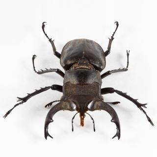 Lucanus formosanus kever beetle