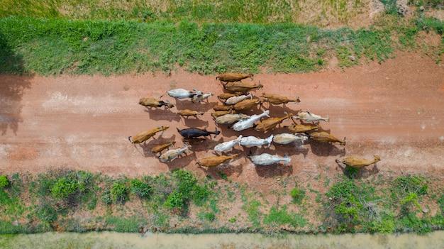 Luchtfoto bovenaanzicht van de massa's van vele koeien lopen op het platteland, thailand