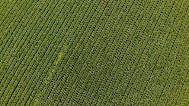 Luchtfoto bovenaanzicht van maïsveld