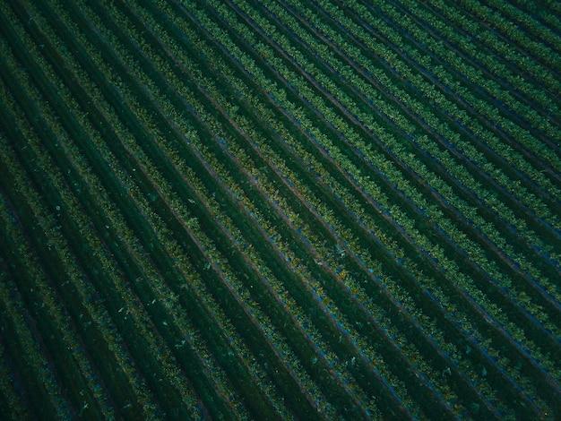 Luchtfoto drone weergave blueberry bush veld, biologische rijp. blauwe bes hangend aan een tak, bio, gezonde voeding, bovenaanzicht, boerderij met bessen