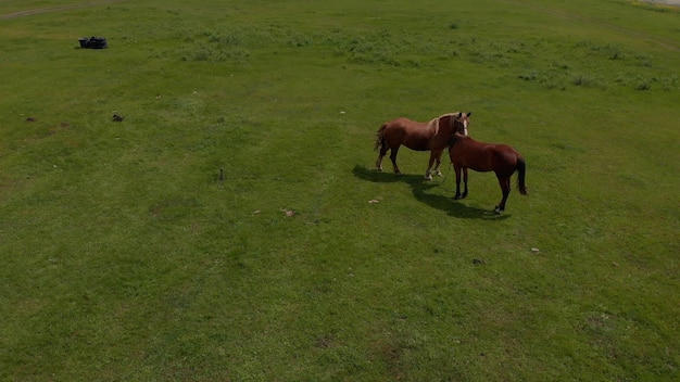 Luchtfoto over twee wilde paarden in de natuur van de wilde velden door weide. paardenfokkerij, ecologie, paardensport, exploratiekrachtconcept. een bruin gedomesticeerd paard graast in een weide op een zonnige lentedag