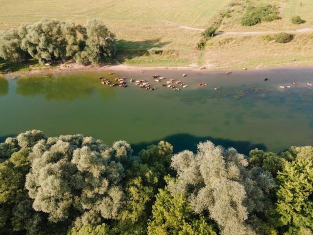 Luchtfoto van boerderijkoeien die water drinken in de kopieerruimte van de rivier