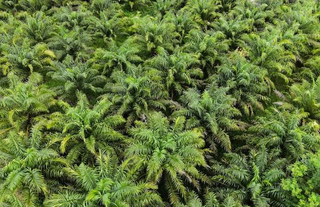 Luchtfoto van de palmboom groene velden natuur agrarische boerderij achtergrond, bovenaanzicht palmbladeren van bovenaf van gewassen in het groen, vogelperspectief tropische boom plant