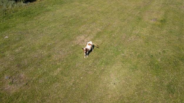 Luchtfoto van een groep koeien en hun kalveren