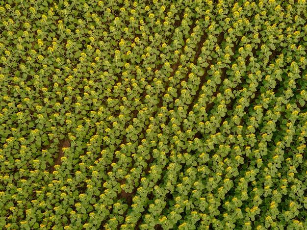 Luchtfoto van een grote zonnebloem veld bloeien met een prachtige gouden kleur.