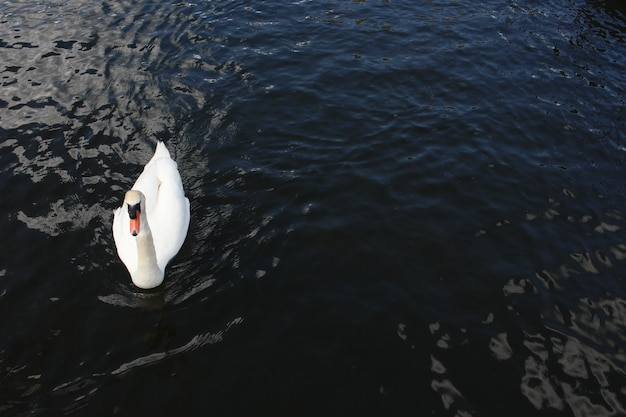 Luchtfoto van een mooie zwaan die vreedzaam zwemt op het kalme meer